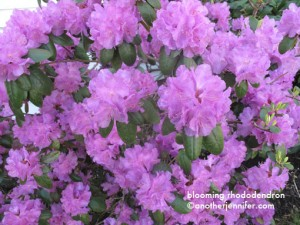 Wordless Wednesday: Blooming Rhododendron