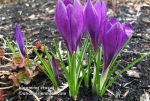 Wordless Wednesday: Blooming Crocus