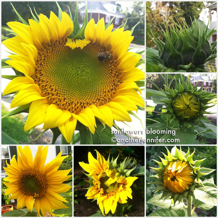 sunflowers blooming collage