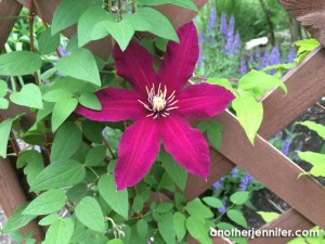 Wordless Wednesday: Clematis Blooming
